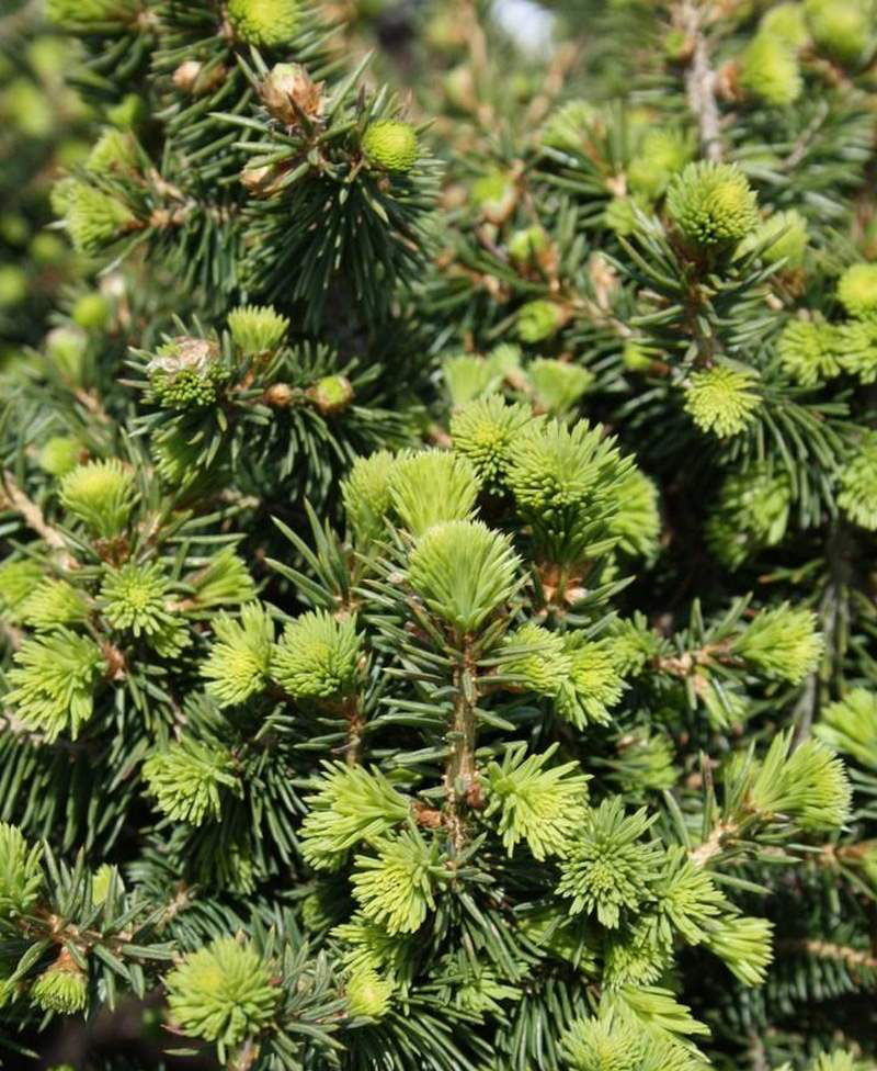 Picea Abies Remontii